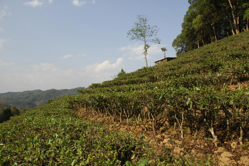 typický terasový čaj (Taidi cha)