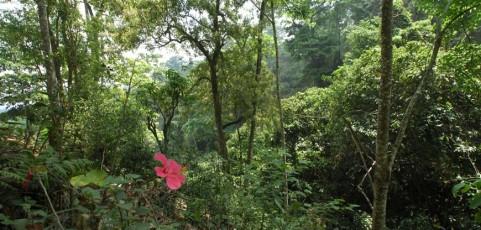 Botanika puerhu